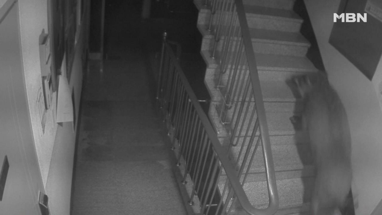 아파트 복도에 나타난 멧돼지