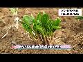 명이나물모종,산마늘 모종캐기