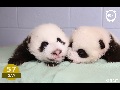 panda 생후 100일 기록