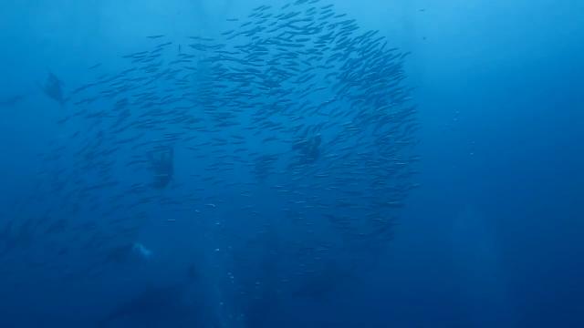 짓궂은 돌고래, 정어리떼와 장난