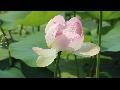 [동영상] 시흥 '연꽃테마파크의 여름' 풍경 4   (20190712)