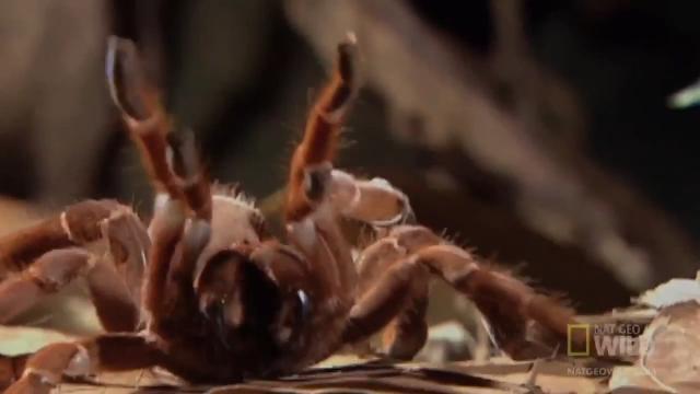 세상에서 가장 큰 독거미