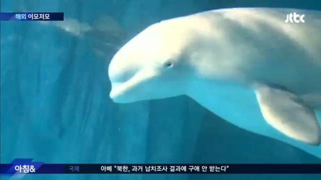 중국 수족관서 출산한 흰고래