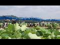 [동영상]  시흥 '연꽃테마파크의 여름' 풍경  7   (20190712)