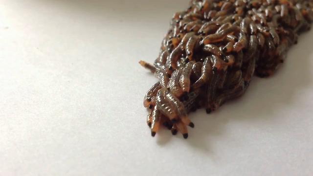 생존을 위한 애벌레들의 행렬