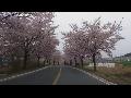 경주 벚꽃