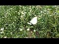 배추흰나비/흰나비과