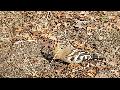 후투티, 인디언 추장새(오디새, Eurasian Hoopoe) - 대구공업대학교