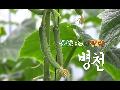 신선한 오이의 본고장 병천~~봉황오이농장