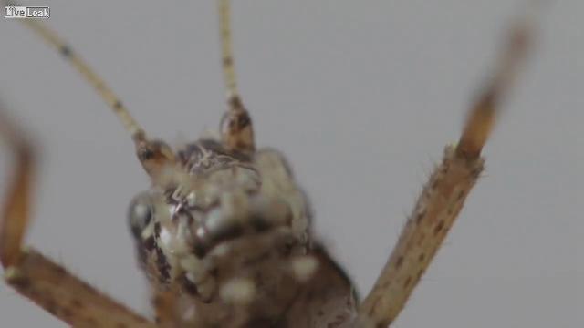 2cm 귀뚜라미의 매크로 영상