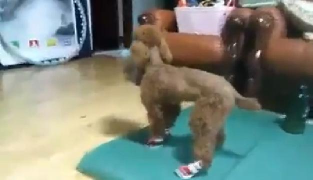 우리 집 강아지 신발 체험기