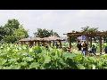 [동영상]  시흥 '연꽃테마파크의 여름' 풍경 3   (20190712)
