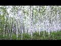 인제천리길 따라 만나는 원대리 자작나무숲