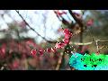 <봄꽃여행> 제주의 봄꽃