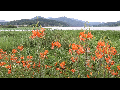 [동영상] 양평 '두물머리의 연꽃과 여름' 풍경 3  (20190719)