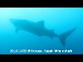고래상어(보라카이)