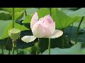 [동영상] 시흥 '연꽃테마파크의 여름' 풍경 6    (20190712)