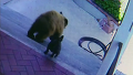 야생 곰 두 마리를 물리친 용감한 강아지 화제!