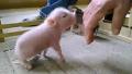 꿀꿀꿀 귀여운 아기 돼지 2형제