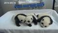 판다 쌍둥이의 넋 놓는 귀여움