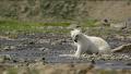북극곰의 연어 사냥 실력은?