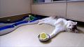 레몬이 진짜로 싫었던 고양이