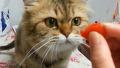 토마토를 너무 좋아하는 고양이