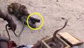 어떤 원숭이의 코브라 조련법