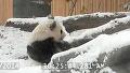 북극곰 부럽지 않은 판다의 일상