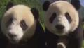 카메라가 신기한 형제 팬더들