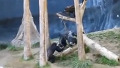 살벌한 침팬지 격투 긴장감 최고