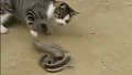 한 손으로 뱀 제압 용감 고양이