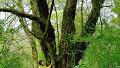 265살 왕벚나무의 후덜덜한 크기