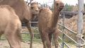 밥 뺏어 먹는 낙타에 어미 반응