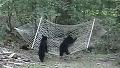 해먹 접수하던 아기곰들, 하지만