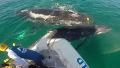그물 걸린 새끼 살린 어미 고래