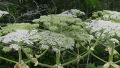 악마의 꽃이라 불리는 식물