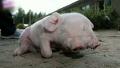 '뜨헉' 머리가 둘 달린 돼지 발견