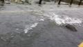 도로를 가로지르는 연어들