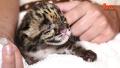 새끼 표범의 치명적인 귀여움