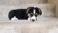 코기 강아지 계단 내려오기 ㅋㅋㅋ ^ㅡ^*;