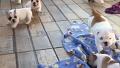 귀여운 불독 강아지들