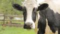 세계에서 제일 키큰 젖소