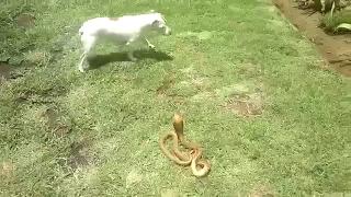 개가 코브라를 만났는데, 반전