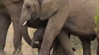 코끼리에게 이런 모습도 있었다니