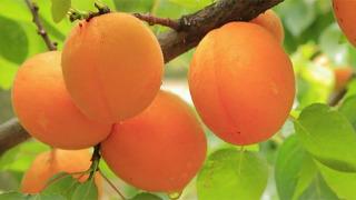 양귀비도 챙긴 노화 방지 열매