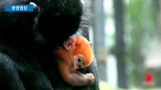 호주 동물원의 오렌지색 원숭이
