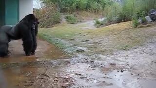 비오는날 고릴라의 행동