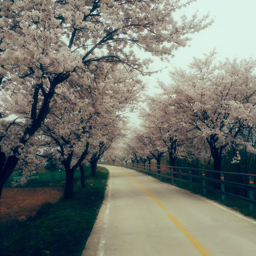 경기도 양평 예쁜 벚꽃길