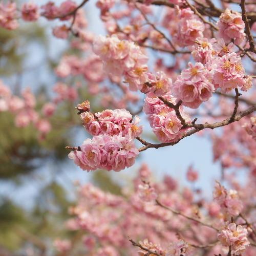 창경궁 매화꽃